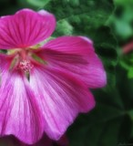 Tree Mallow by LynEve, photography->flowers gallery