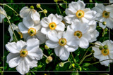 Anemone Hybrida 'Honorine Jorbert' by corngrowth, photography->flowers gallery