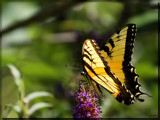 The Eastern Tiger Swallowtail (Pterourus glaucus) #3 by tigger3, photography->butterflies gallery