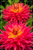 Dahlia Show 09 by corngrowth, photography->flowers gallery