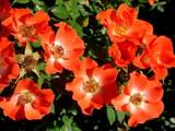 Gizmo by trixxie17, photography->flowers gallery