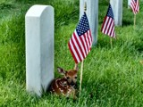 Fawn Guarding Our Fallen by mimi, photography->animals gallery