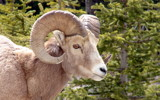 Roadside Ram by RobNevin, Photography->Animals gallery