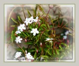 Jasminum polyanthum by LynEve, photography->flowers gallery