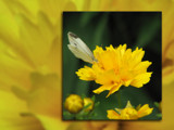 II - Moth on Yellow Flower by breeze_lc, Photography->Flowers gallery