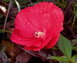 """""""Midnight Marvel"""" Rose Mallow by trixxie17, photography->flowers gallery"""