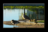 A Fowl Family Portrait by tigger3, Photography->Birds gallery