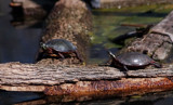 Turtles Sunning by gerryp, Photography->Animals gallery