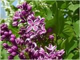 """Sensation"" Lilac by trixxie17, photography->flowers gallery"