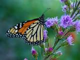 Tankin' Up by wheedance, Photography->Butterflies gallery