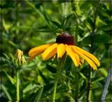 Wild Rudbeckia by trixxie17, photography->flowers gallery