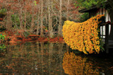 Cascading Mums II by allisontaylor, photography->gardens gallery