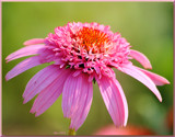 Calendar Cone Flower by tigger3, photography->flowers gallery