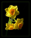 Sunny Jonquils by LynEve, Photography->Flowers gallery