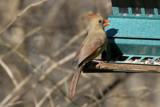 Female Cardinal by photog024, Photography->Birds gallery