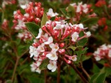 Cranberry Viburnum by trixxie17, photography->flowers gallery