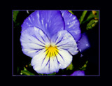 February Pansy by LynEve, photography->flowers gallery