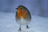 snowy  robin  by cheggy, Photography->Birds gallery