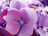 Purple Haze by trixxie17, photography->flowers gallery
