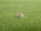 got a wild hare by kitiger, Photography->Animals gallery