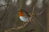 Rainton Robin 2 by slybri, photography->birds gallery