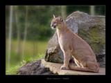 Felis concolor by kodo34, Photography->Animals gallery