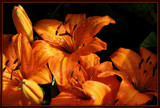 Portrait - Asiatic Lilies by trixxie17, photography->flowers gallery