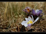 Crocus by MiLo_Anderson, Photography->Flowers gallery