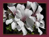 Pelargonium by MarianaEwa, Photography->Flowers gallery