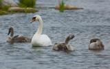 Mute Swan family by SEFA, photography->birds gallery