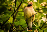 Waxwing by Eubeen, photography->birds gallery