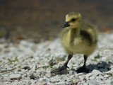 Baby Gosling by gerryp, Photography->Birds gallery
