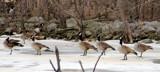Goose Line by Pistos, photography->birds gallery