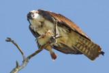 Osprey 4 by jeenie11, photography->birds gallery