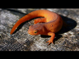 Red Eft by unconciousepiphany, Photography->Reptiles/amphibians gallery
