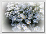 Daisies for Hilda by LynEve, photography->flowers gallery