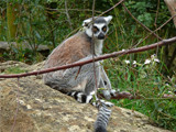 Ring Tailed Lemur by gonedigital, Photography->Animals gallery