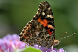 Close Encounter by vangoughs, photography->butterflies gallery