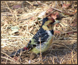 Crested Barbet. by SusanVenter, Photography->Birds gallery