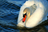 Swan by braces, Photography->Birds gallery