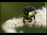 A greedy beetle by ppigeon, Photography->Insects/Spiders gallery