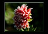 The Beauty Of The Dahlia _ #15 by tigger3, Photography->Flowers gallery
