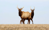 Brotherhood of the Elk by 0930_23, photography->animals gallery