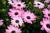 Osteospermum by trixxie17, photography->flowers gallery