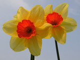 Daffodils by Paul_Gerritsen, Photography->Flowers gallery