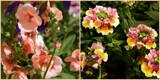 Nemesia x 2 by trixxie17, photography->flowers gallery