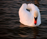 Evening Swan #2 by braces, Photography->Birds gallery