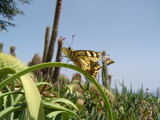 Tiger swallowtail in the garden of Eze (France) by jazzyg, Photography->Butterflies gallery
