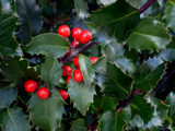 Holly by phasmid, Holidays->Christmas gallery