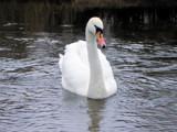 Swan1 by slybri, Photography->Birds gallery